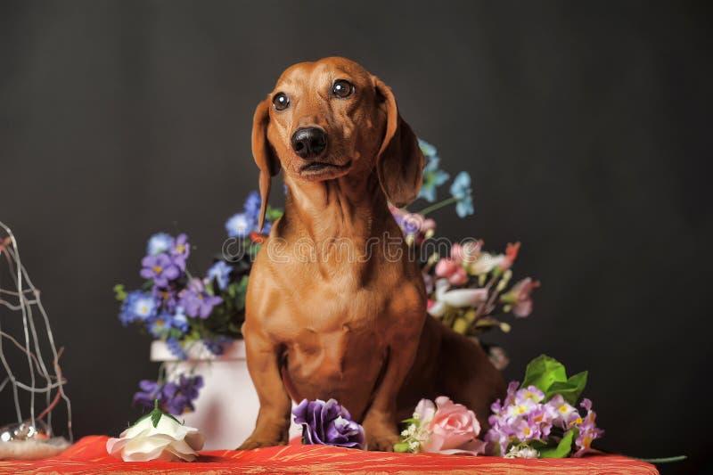 Jamnik na tle kwiaty zdjęcie stock