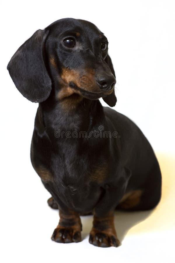 Jamnika czerń siedzi gapić się uważnie przy bielem zdjęcia stock