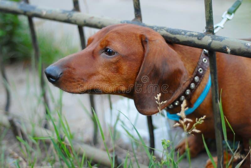 Jamnika pies zdjęcie stock