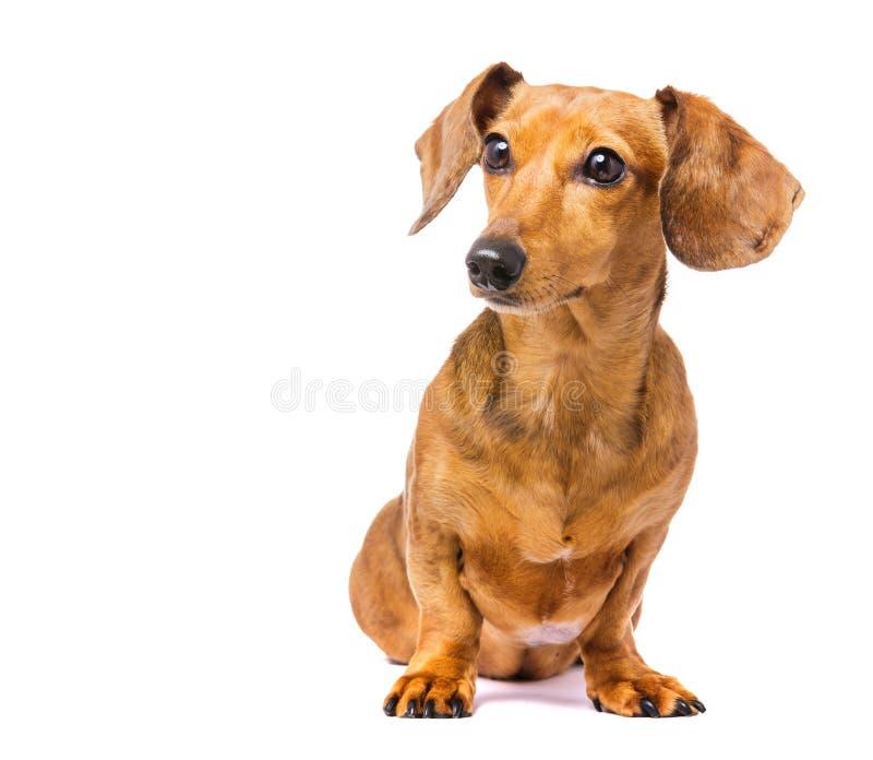 Jamnika pies obraz royalty free