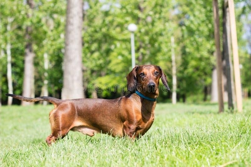 Jamnika pies obrazy royalty free