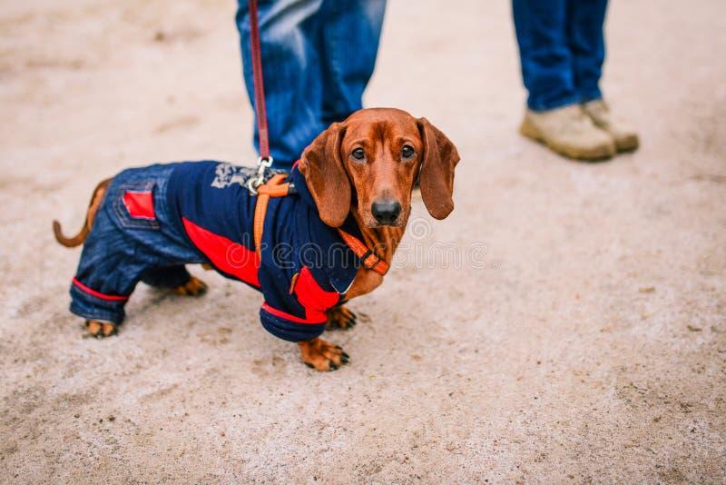 Jamnika pies Brązu jamnik ubierał w ciepłym odziewa spacery z właścicielem na ulicie Pies odziewa zdjęcie stock