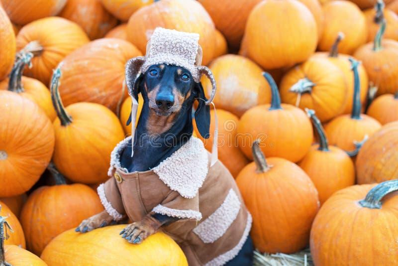 Jamnika pies, czarny i dębny, ubierający w wioska kapeluszu i bluzie sportowej wśród dyniowego żniwa, przy jarmarkiem w jesieni zdjęcie stock