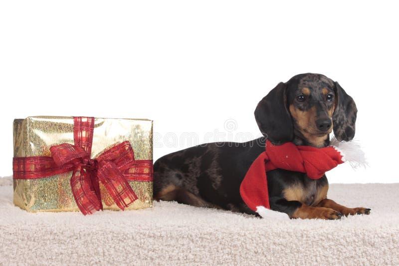 Jamnika pies na bożych narodzeniach odizolowywających zdjęcie royalty free