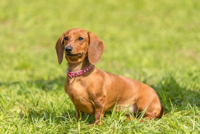 Jamnika pies w parku fotografia stock