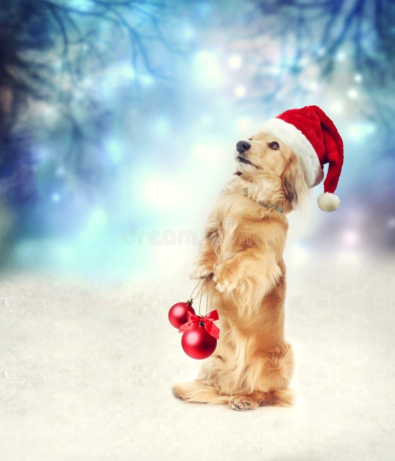 Jamnika pies z Santa mienia bożych narodzeń kapeluszowymi baubles obraz stock