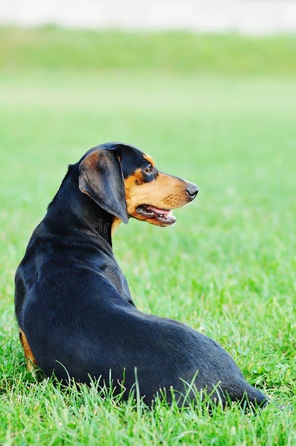 Jamnika psi portret fotografia stock