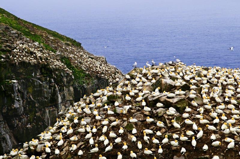 Jan-van-gent bij St. Mary van de Kaap Vogel Sanctua stock afbeelding