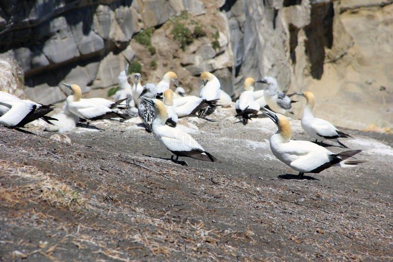 Jan-van-gentkolonie op Otakamiro-Punt, Muriwai-Strand, Nieuw Zeeland, Auckland stock afbeelding