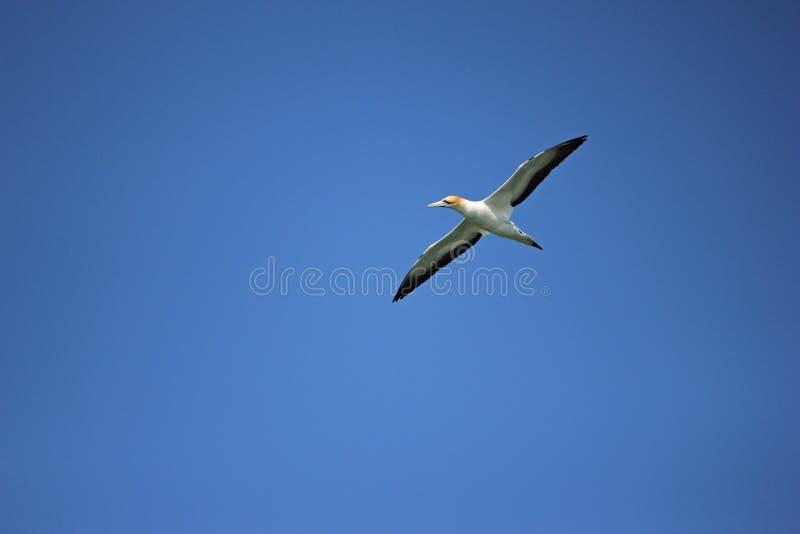 Jan-van-gentvogel, die in blauwe hemel vliegen stock fotografie