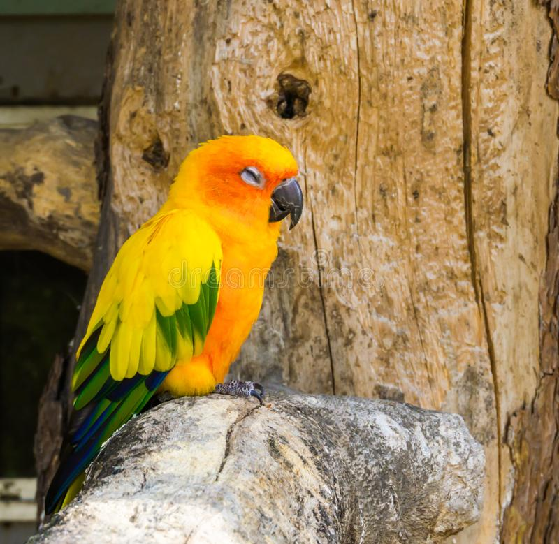 Jandaya parrot sitting on a tree branch and making a satisfied face, a tropical colorful bird from brazil royalty free stock image