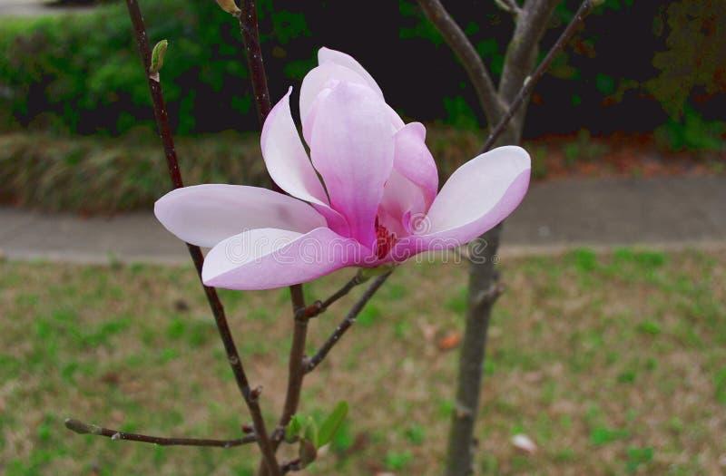 Jane Magnolia Tree Blossom stock foto's
