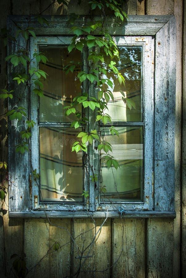 A janela do couro cru do convólvulo que cresce em parede de madeira envelhecida rachada pintou o contexto de madeira do fundo da  fotos de stock royalty free