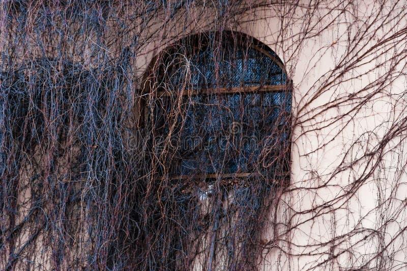 Janela inteiramente coberto de vegetação do arco da fachada com videira selvagem, planta da uva Ramos desencapados assustadores q fotos de stock