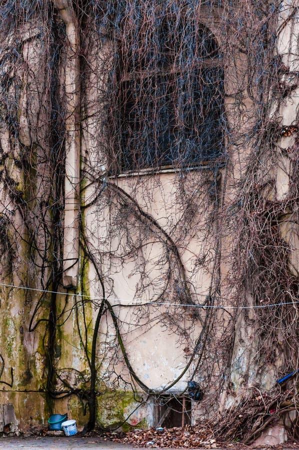 Janela inteiramente coberto de vegetação do arco da fachada com videira selvagem, planta da uva Ramos desencapados assustadores q fotografia de stock royalty free