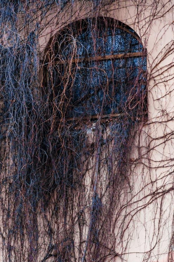 Janela inteiramente coberto de vegetação do arco da fachada com videira selvagem, planta da uva Ramos desencapados assustadores q imagem de stock royalty free