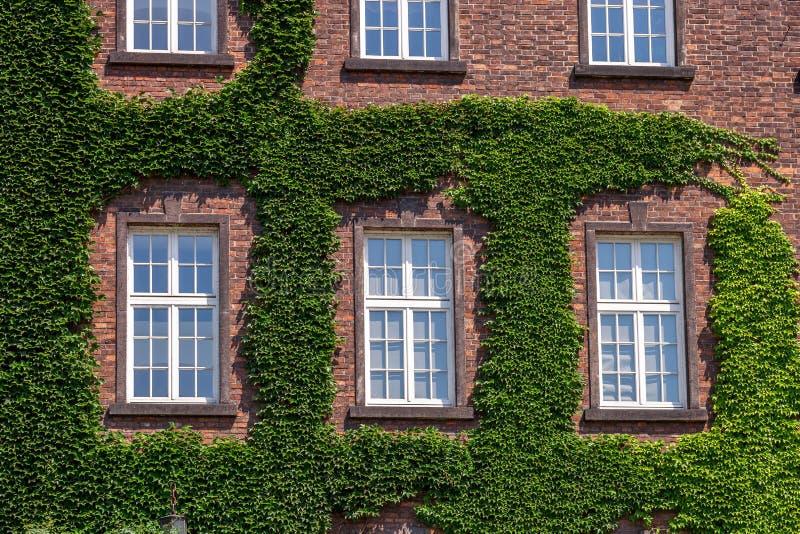 Janelas de madeira velhas cobertos de vegetação pela hera na fachada da casa fotografia de stock
