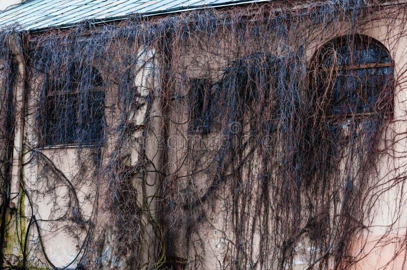 Janelas inteiramente cobertos de vegetação do arco da fachada com videira selvagem, planta da uva Ramos desencapados assustadores fotos de stock royalty free