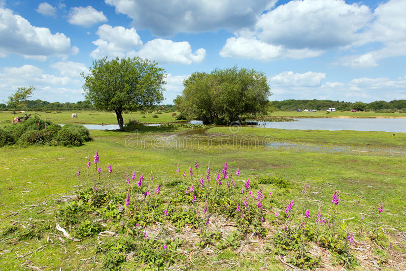Janes Moor lake New Forest Hampshire England UK popular tourist location. In summer with blue sky and pink flowers stock photos