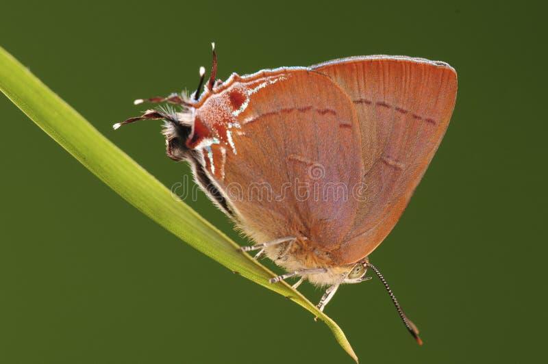 Jangala de papillon/Remelana photo stock