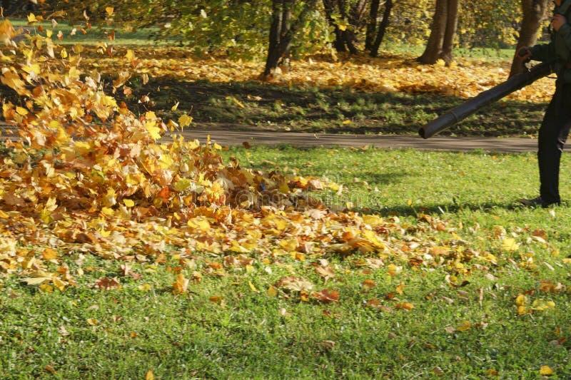Janitor czyści ciosów oddalony kolor żółty spadać liście, jesień w miasto parku obrazy royalty free