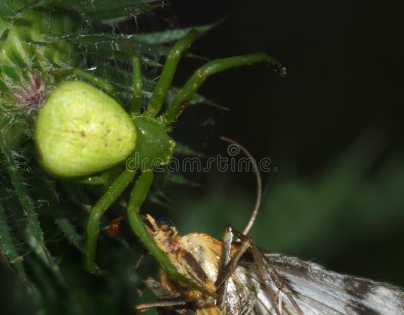 Jantar que macro do luesha do homem-aranha eu quero abraçar suas aranhas e traças imagens de stock royalty free