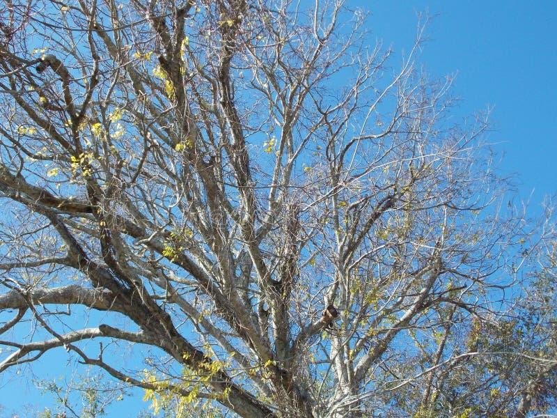 Januar-Baum mit hellem blauem Himmel stockfoto