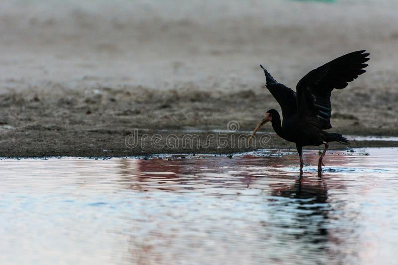 Black bird with long beak landing on a surface of water, in Campeche, Florianopolis, Brazil. 2019, January. Florianopolis, Brazil. Black bird with long beak stock photography