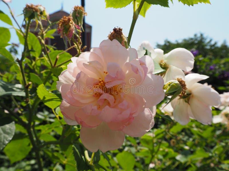 Japão recolhido flor fotos de stock royalty free