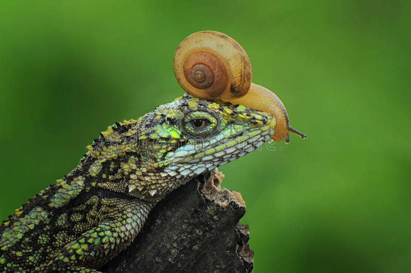 Japalura x蜗牛 库存图片