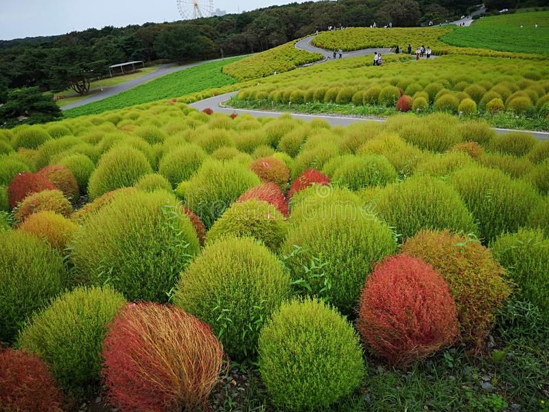 Japan Autumn garden with sweeping grass royalty free stock image