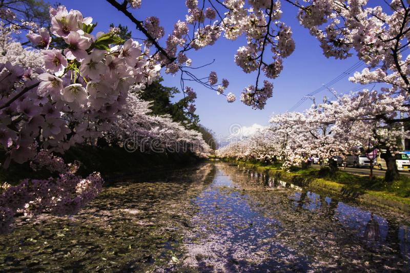 Japan Famous Sakura Cherry Blossoms. In Hokkaido the northernmost of Japan's main islands, is known for its volcanoes, natural hot springs onsen and ski areas stock photos
