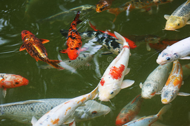 Japan Fishes royalty free stock image