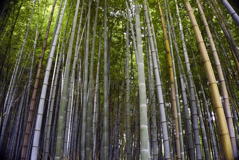 Japan, Kyoto, Arashiyama, mening van het bamboebos stock afbeeldingen