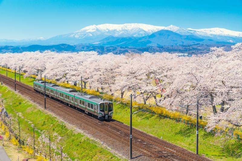 Japan landscape scenic view of JR Tohoku train with full bloom of sakura and cherry blossom, hitome senbonzakura, tohoku, asia. With snow mountain in spring stock images