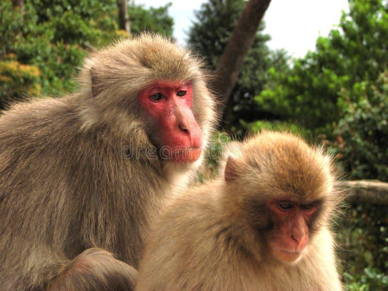 japan macaques royaltyfria foton