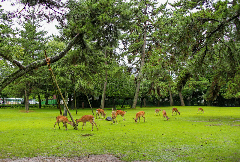 Japan Nara Park arkivfoto