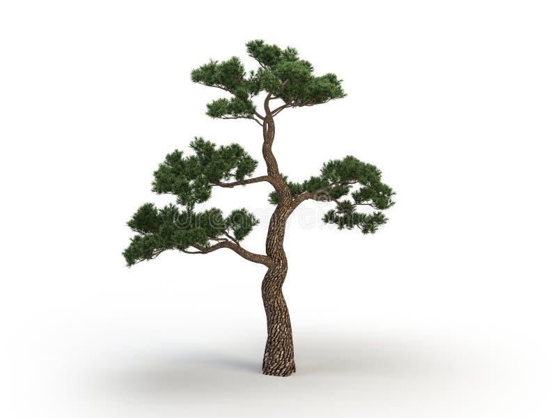 Japan pine royalty free stock images