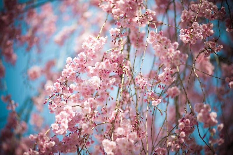 Japan Pink sakura 02. Pink sakura, blooming from late March to early Apri, taken from Nagoya Japan stock photo