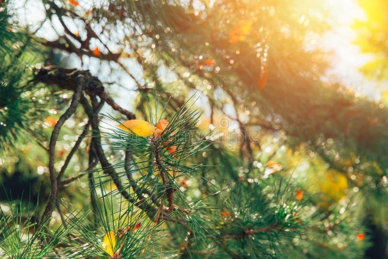 Japan sörjer den wood skogen trädet med morgonljussolsken arkivfoton