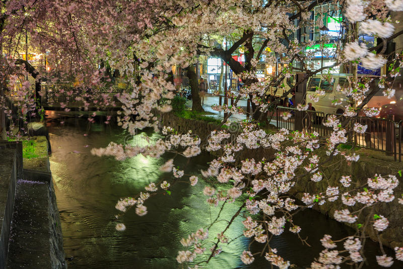 Japan`s cherry blossom season. This picture was taken in Pontocho, in Gion district, Kyoto Japan. Kyoto has so many nice places, specially at the cherry blossoms stock image