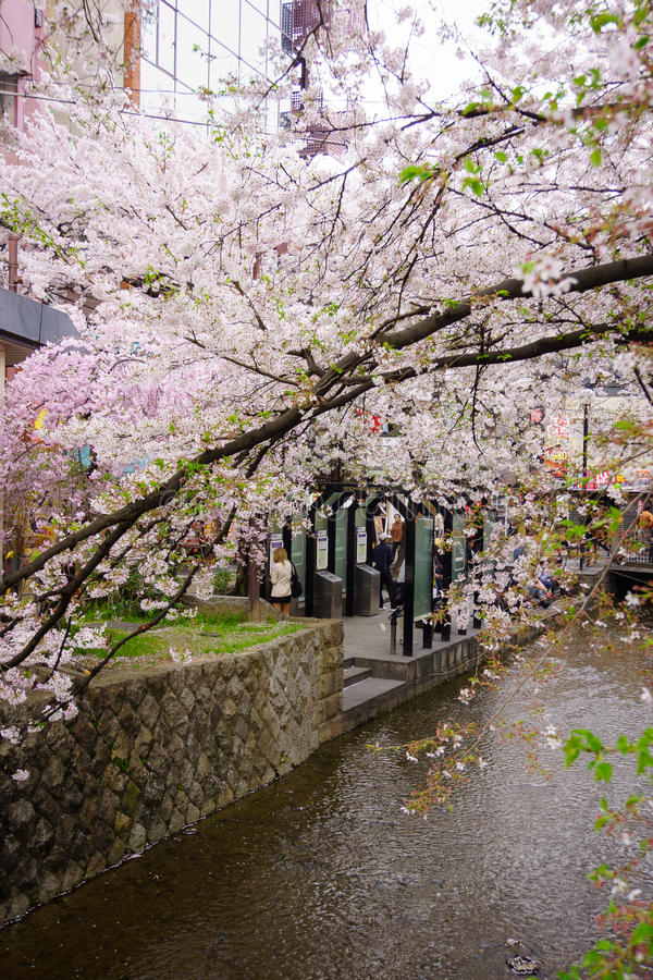 Japan`s cherry blossom season. This picture was taken in Pontocho, in Gion district, Kyoto Japan. Kyoto has so many nice places, specially at the cherry blossoms royalty free stock photos