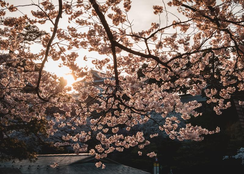 Japan Sakura flower Cherry blossom sunset at Castle Spring seizoen Nature background royalty-vrije stock foto