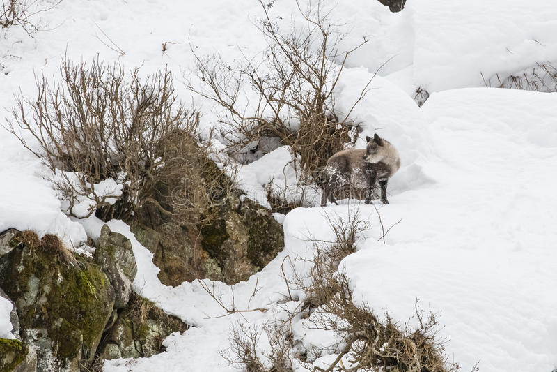 Japan Serow på Snowbank royaltyfri foto