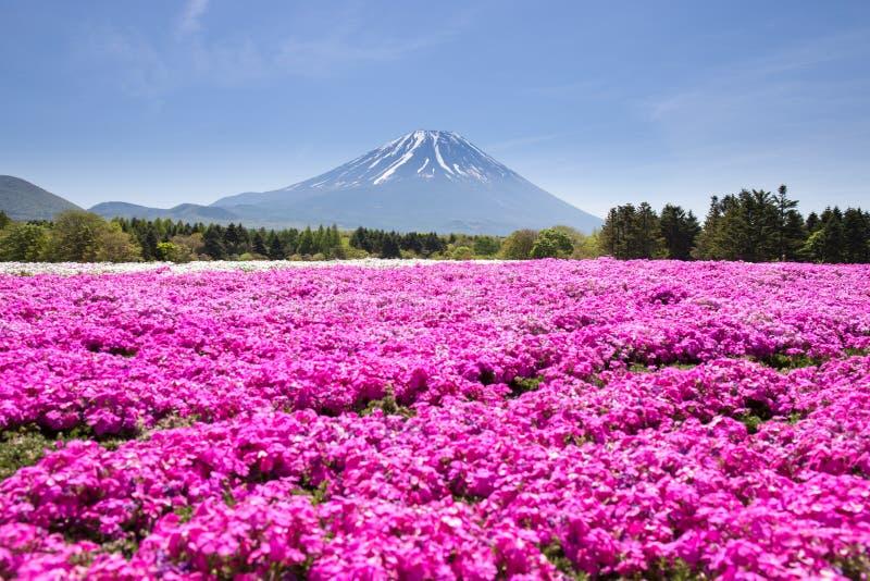 Japan Shibazakura Festival with the field of pink moss of Sakura or cherry blossom with Mountain Fuji Yamanashi, Japan royalty free stock image