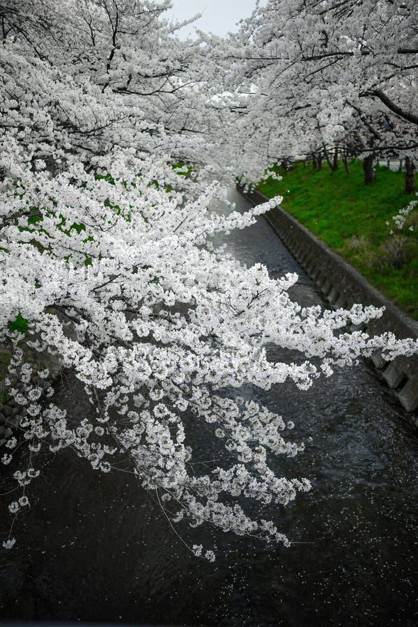 Japan Snowy White Sakura stock foto