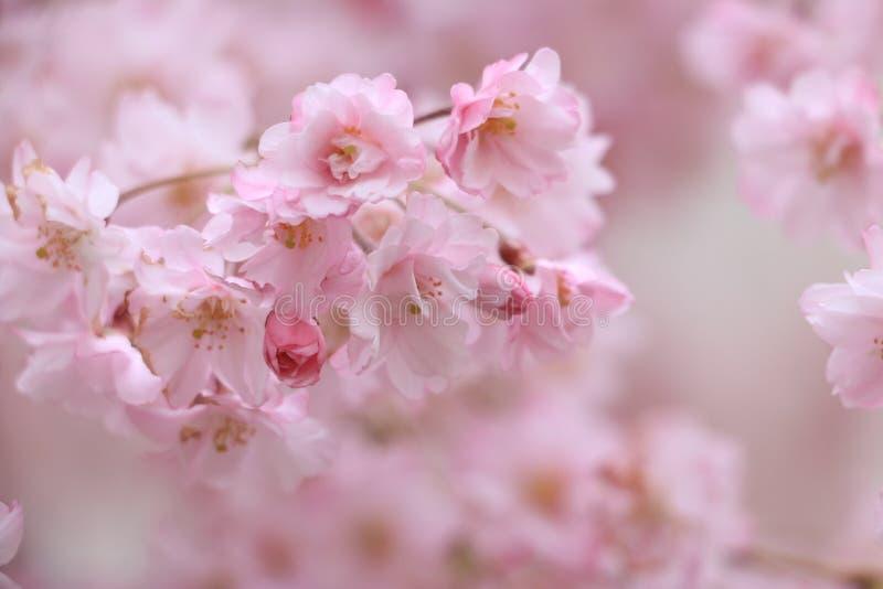 Japan vår royaltyfria bilder