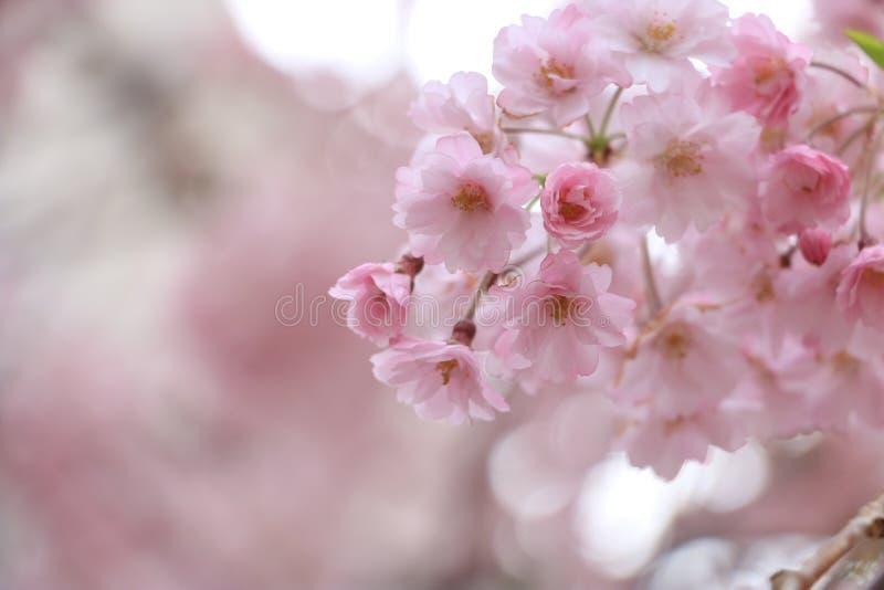 Japan vår royaltyfria foton