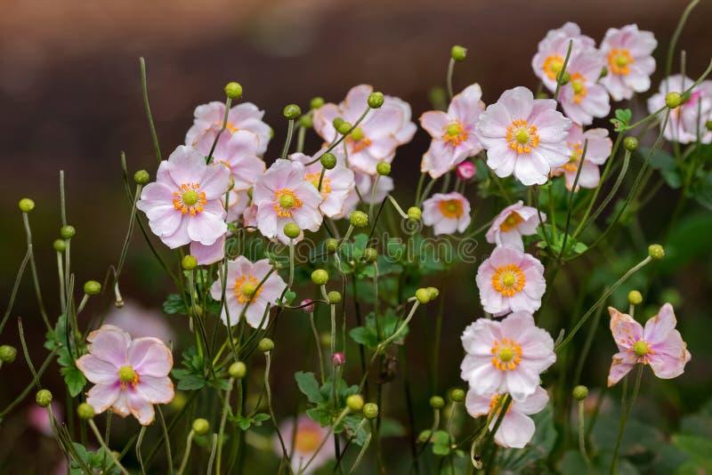 Japaner Anemone Windflower blüht im Rosa mit dem gelben Staubgefässe stockbild