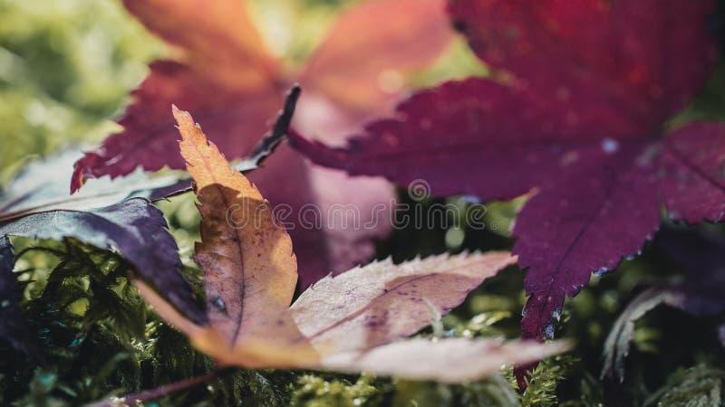 Japaner-Blätter im Sun stockfoto